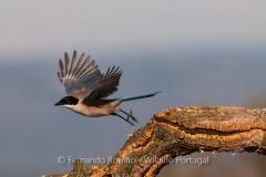 Iberian Magpie (Cyanopica cooki)