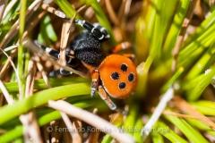 Eresus sp. (Ladybird Spider)