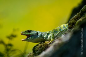Occelated Lizard (Timon lepidus)