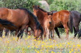 Garrano horses