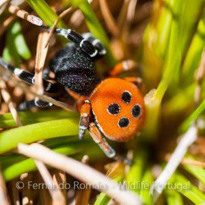 Eresus kollari (Ladybird Spider)