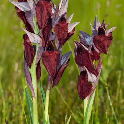 Orchid (Serapias cordigera)