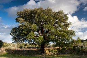 500 years old Cork Oak