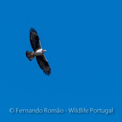 Bonelli's Eagle (Aquila fasciata)