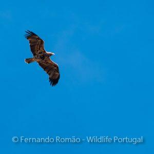 Iberian Imperial Eagle (Aquila adalberti)