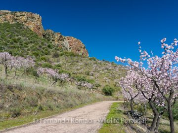 Almond-trees blooming