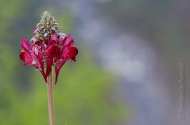 Linaria aeruginea aeruginea