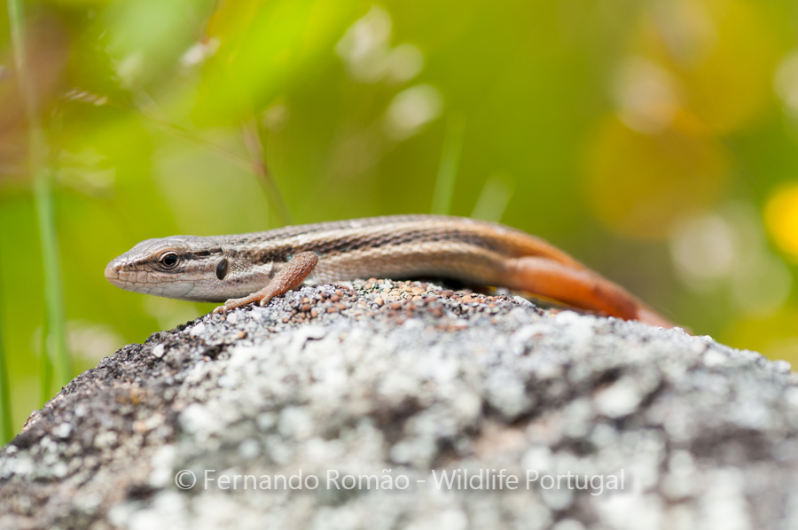 Large Psammadromus (Psammodromos algirus)