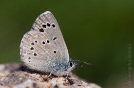 Black-eyed Blue (Glaucopsyche melanops)