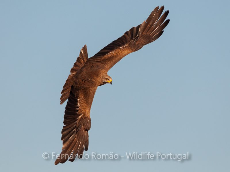 Black Kite at the vulture hide