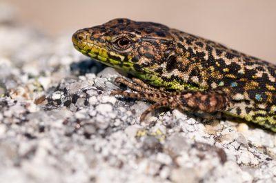 Iberian Rock Lizard (Iberolacerta monticola)