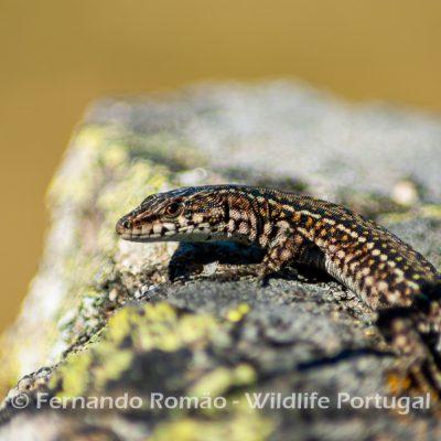 Guadarrama's Wall Lizard