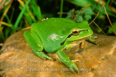 Stripless Tree Frog (Hyla meridionalis)