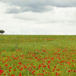 Alentejo landscape with poppies