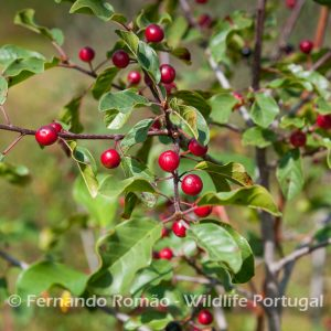 Alder Buckthorn at Malcata mountain