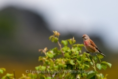 Common Linnet (Linaria cannabina)