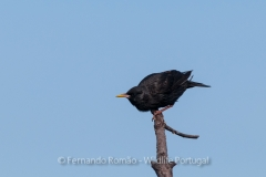 Spottless Starling (Sturnus unicolor)