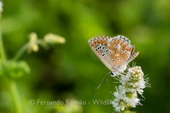 Southern Brown Argus (Aricia cramera)