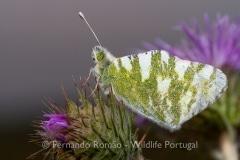 Green-striped White (Euchloe belemia)