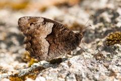 Rock Grayling (Hipparchia hermione)