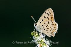 Iberian Sooty Copper (Lycaena bleusei)
