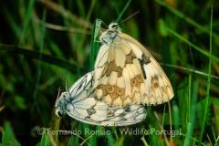 Iberian Marble White (Melanargia lachesis)