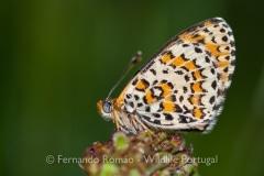 Lesser Spotted  Fritillary (Melitaea trivia)