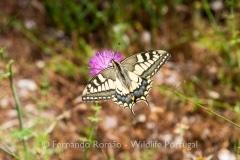 Swallowtail (Papilio machaon)