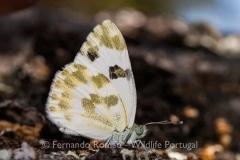 Bath White (Pontia daplidice)