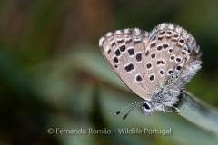 False Baton Blue (Pseudophilotes abencerragus)