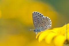 Panoptes Blue (Pseudophilotes panoptes)