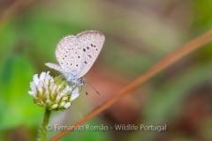 African Grass Blue (Zizeeria knysna)