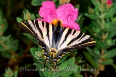 Southern Scarce Swallowtail (Iphiclides feisthameli)