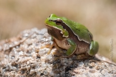 Common Tree Frog (Hyla molleri)