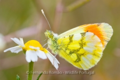 Moroccan Orange Tip