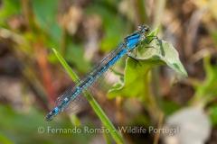 Common Bluet (Enallagma cyathigerum)