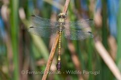 Green Hooktail (Paragomphus genei)