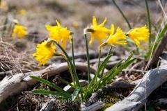 Narcissus asturiensis