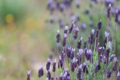 Lavender (Lavandula pedunculata subsp. pedunculata)