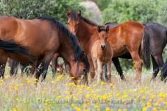 Garrano horses at Faia Brava Reserve