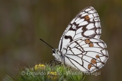 Spanish Marbled White (Melanargia ines)