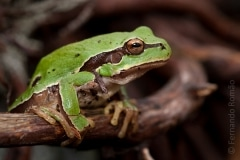 Iberian Tree Frog (Hyla molleri)