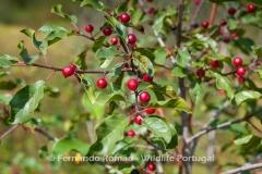 Alder Buckthorn (Frangula alnus)