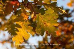 Pyrenean Oak (Quercus pyrenaica)