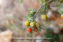 Prickly Juniper (Juniperus oxycedrus)
