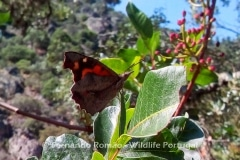 Nettle Tree Butterfly (Libythea celtis)