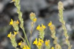 Linaria saxatilis