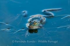 Green Frog (Pelophylax perezi)