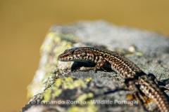 Guadarrama's Wall Lizard (Podarcis guadarramae)
