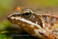 Iberian Frog (Rana iberica)